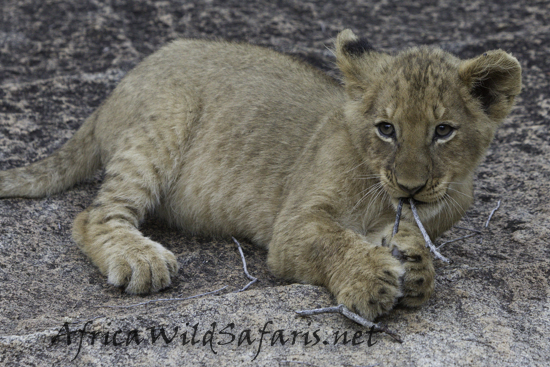 Lion cub image as shot in the late afternoon in on a shady rock