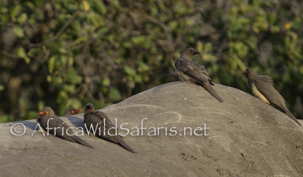 photographing birds on safari