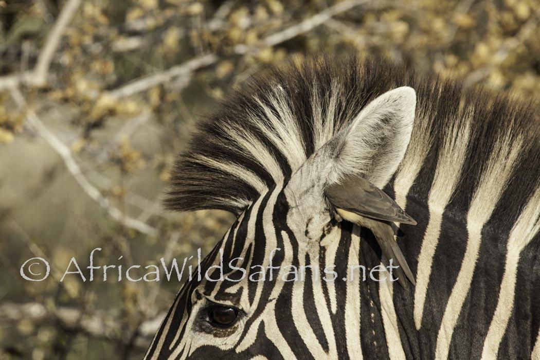photo safari story about ox peckers