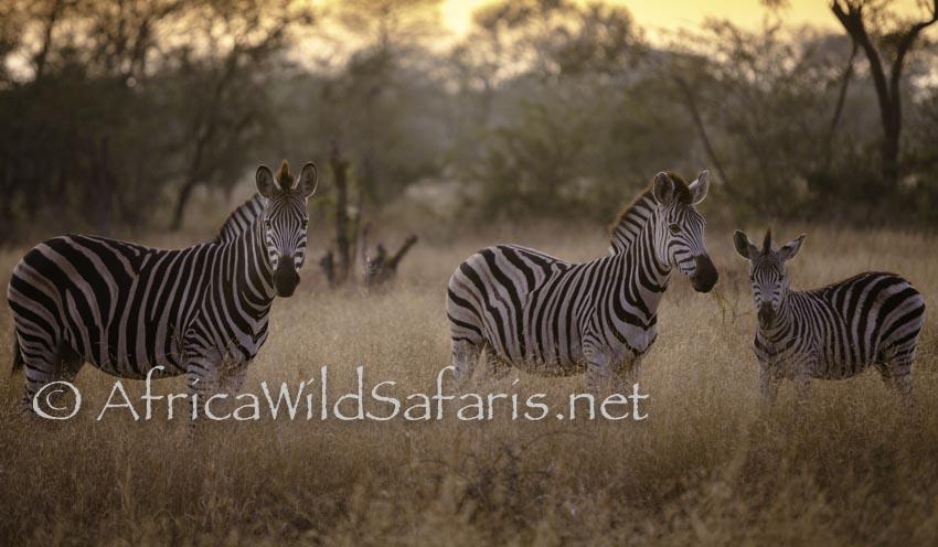 photographic safari zebras