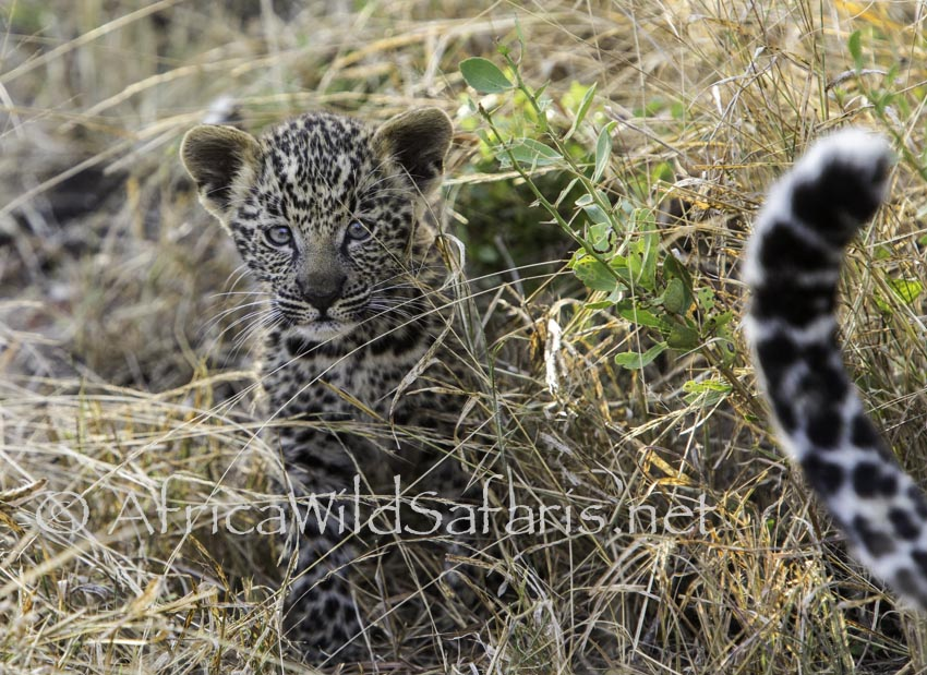 photographing leopard cubs in Sabi