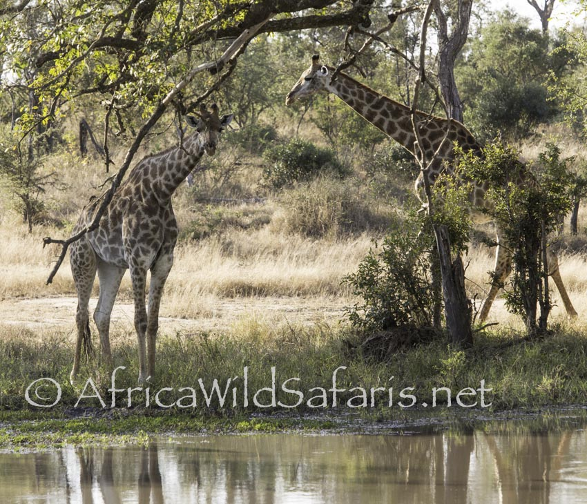 mother and young giraffe on our photo safari
