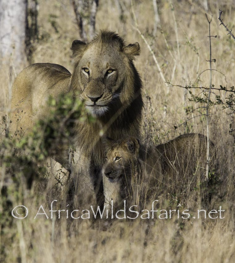 Lions in Sabi Sands
