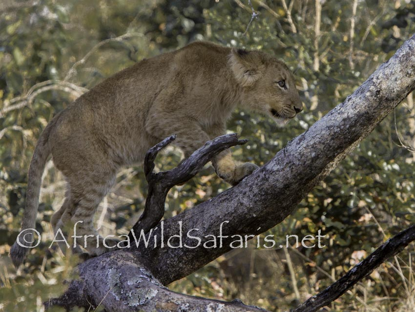 photographing lion cubs on photo safari
