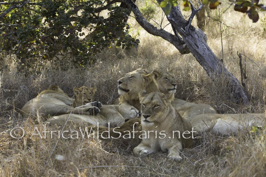 wildlife safari in Africa with lions