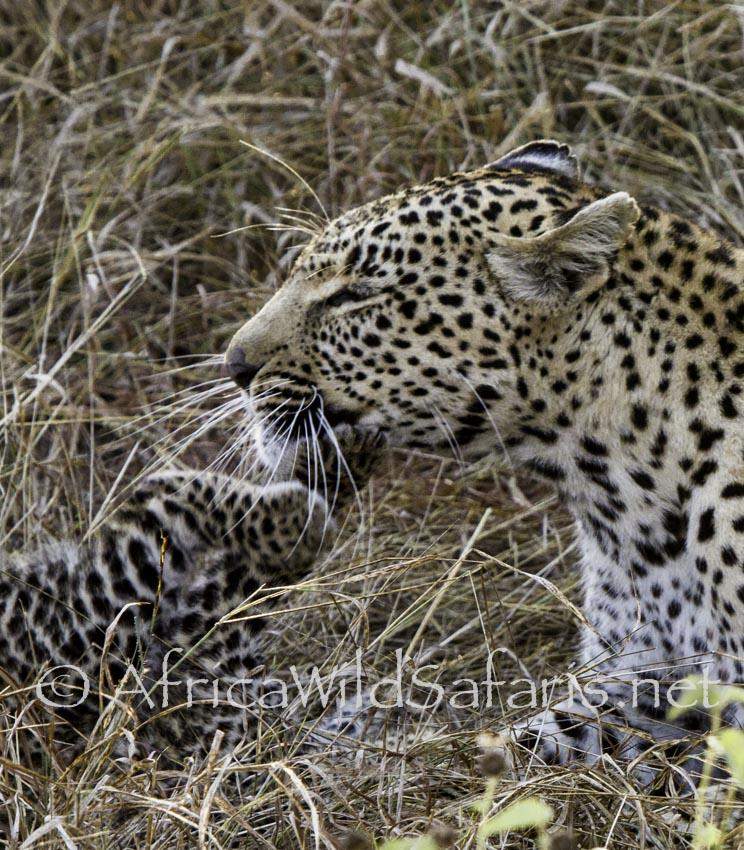 leopard kittens