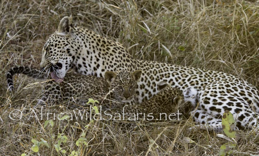 mother and leopard cubs on photo safari in South Africa