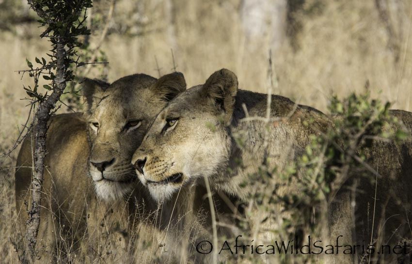 photographing lions in South Africa