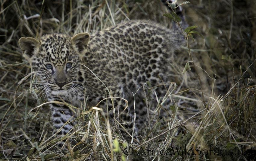 leopard cubs on photo safari in Sabi Sands