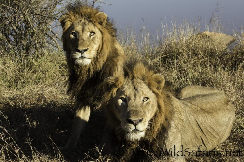 two male lions in a private big 5 reserve