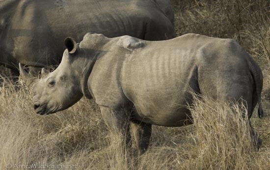 White rhino shot by poacher