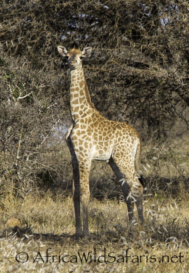 baby giraffe - 2 weeks old