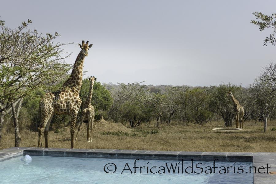 photographing giraffes on safari
