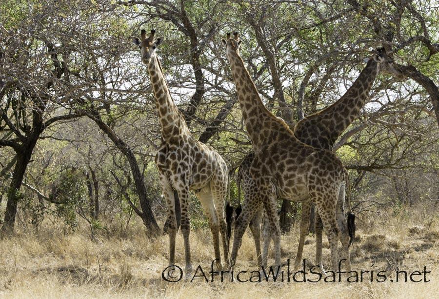herd of giraffes at Bona Ntaba tree house lodge