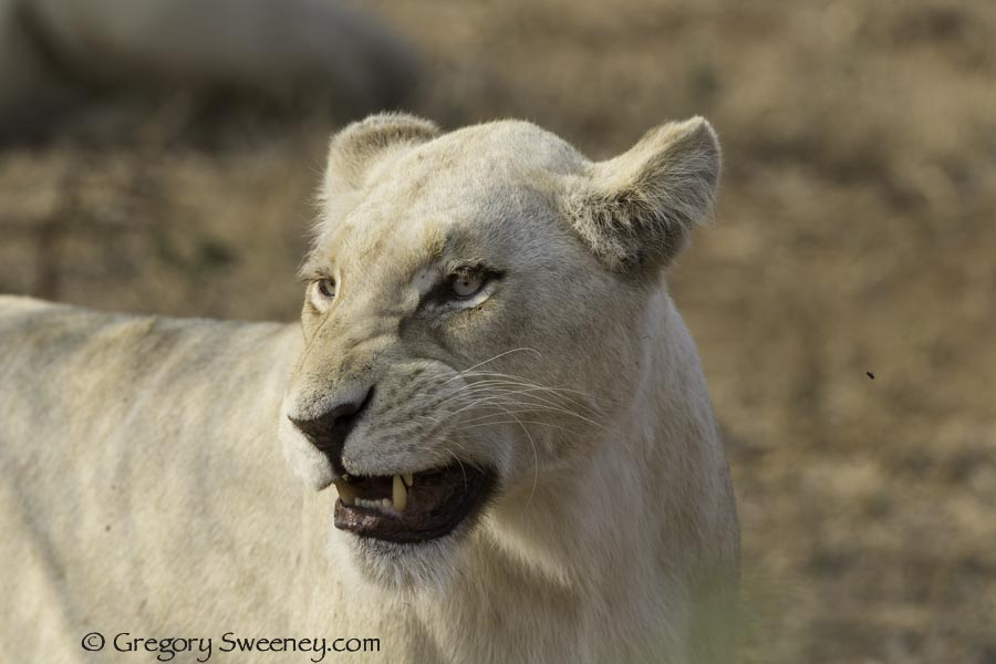 white lion mother