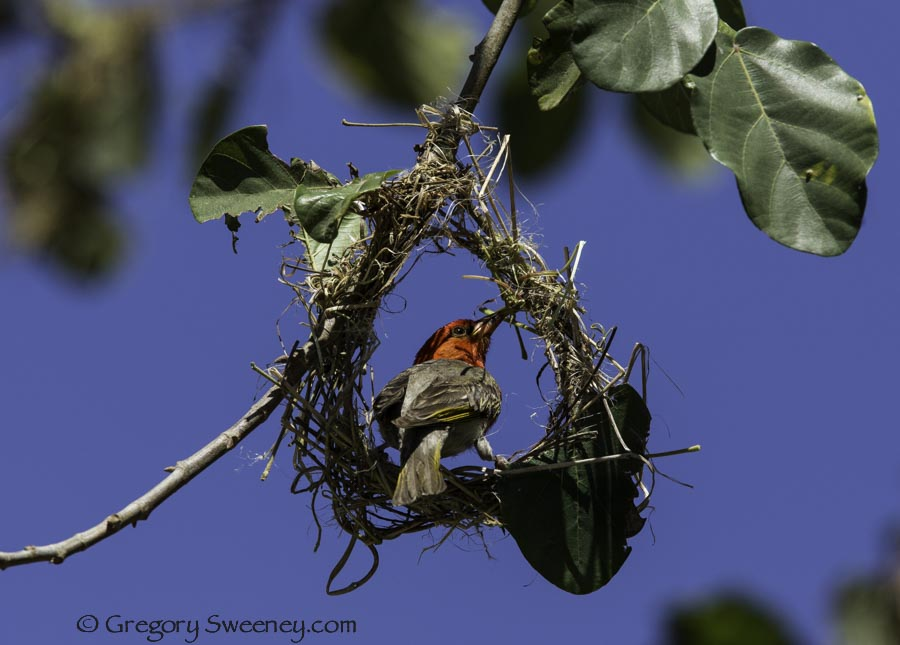 red headed weaver building a nest