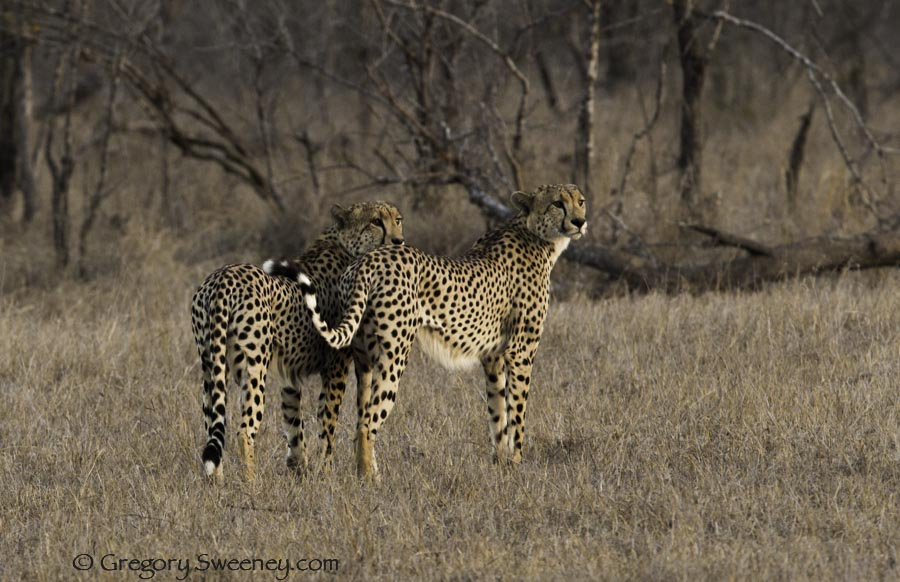 two cheetahs hunting together