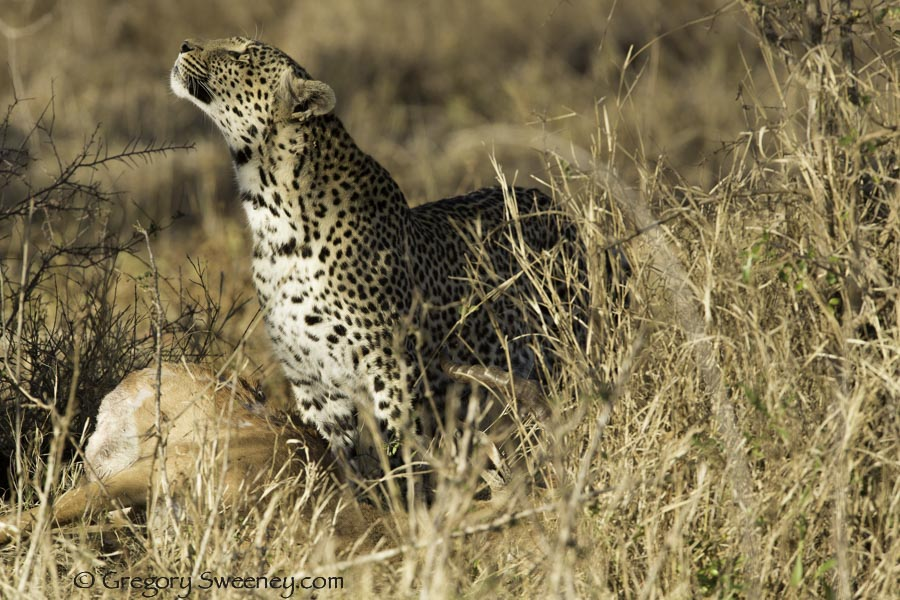leopard looks for a place to stash his kill