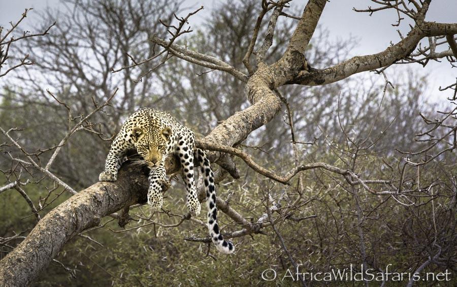 leopard image after adjustment in Lightroom