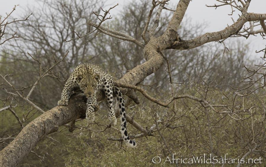 leopard in a tree raw file