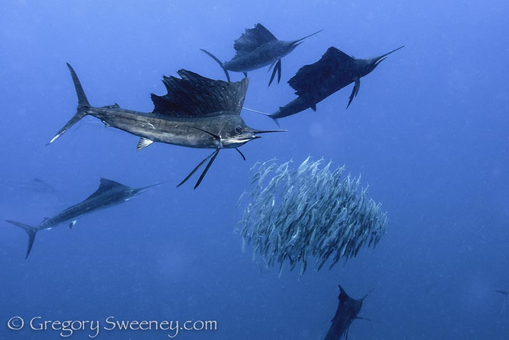 swimming with sailfish in Mexico