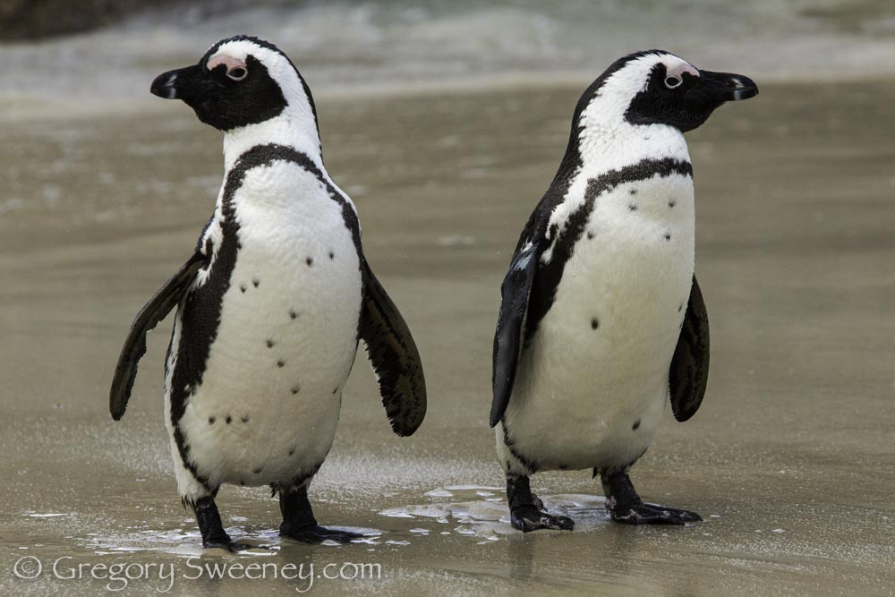 South Africa Penguins walk past me on the beach