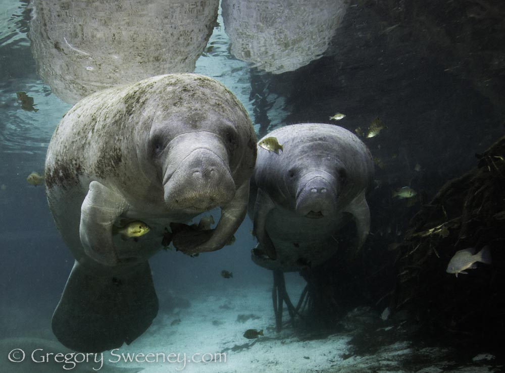 A mother and baby manatee rest in the spring