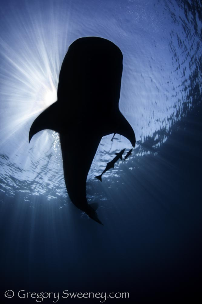 swim with whale sharks in Isla Mujeres