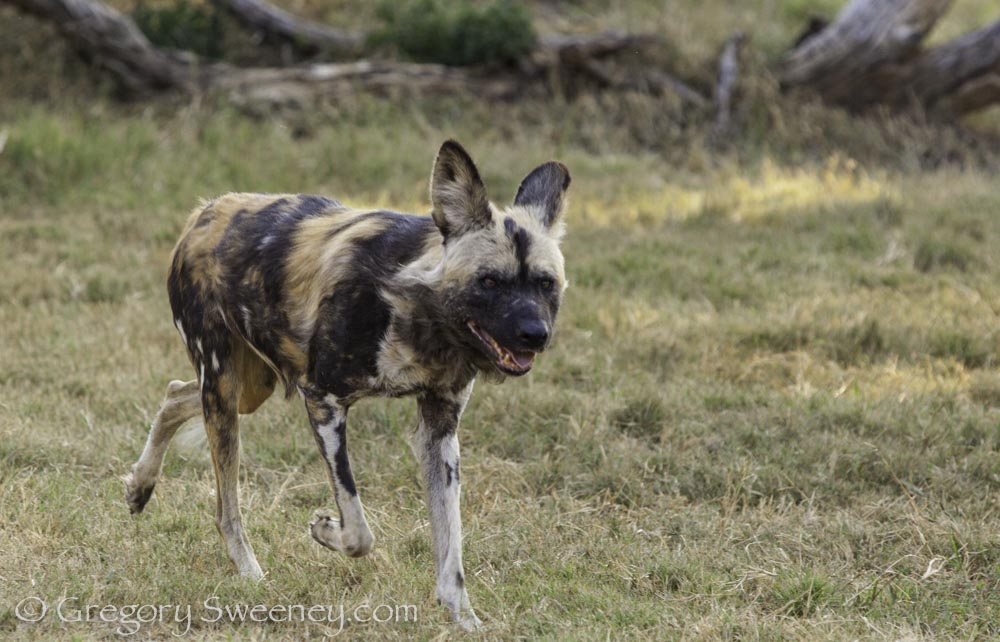 a wild dog in south africa
