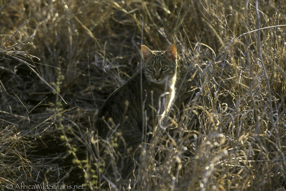 African wild cat in Kruger