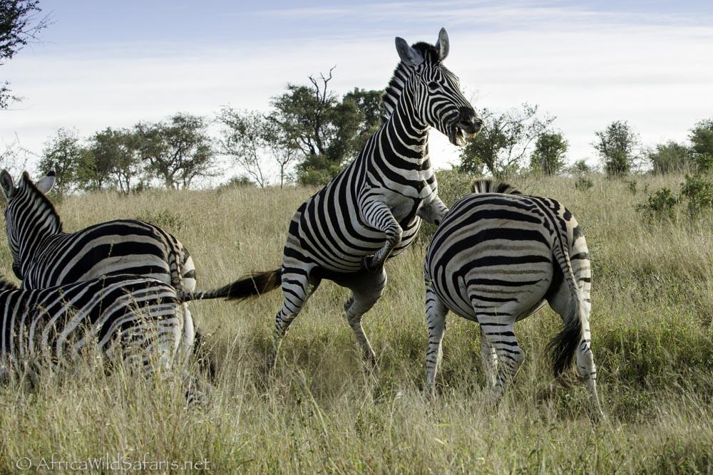 zebra fight