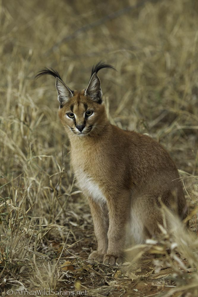 caracal showing ear tufts