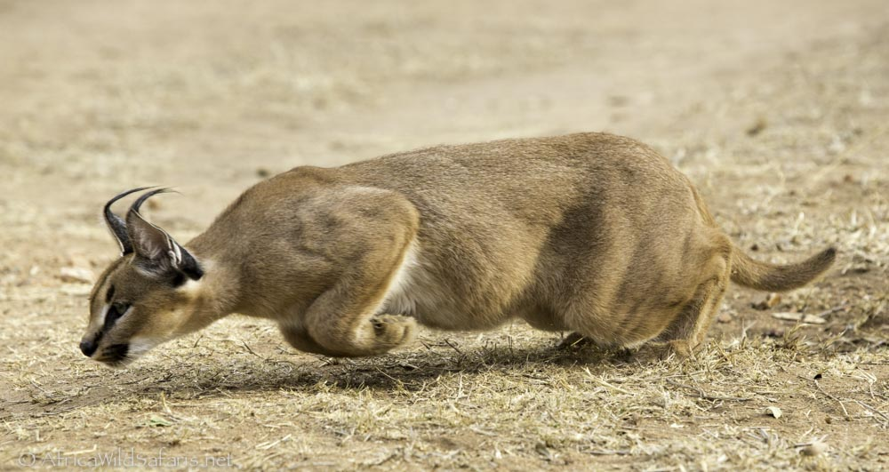 caracal hunting