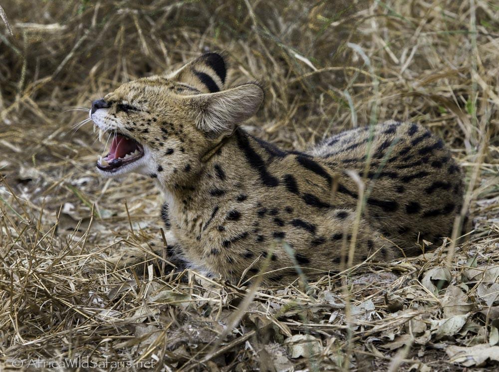 serval yawning