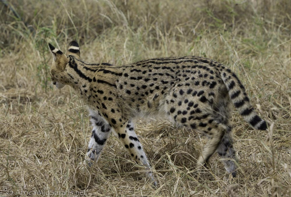 serval with spots