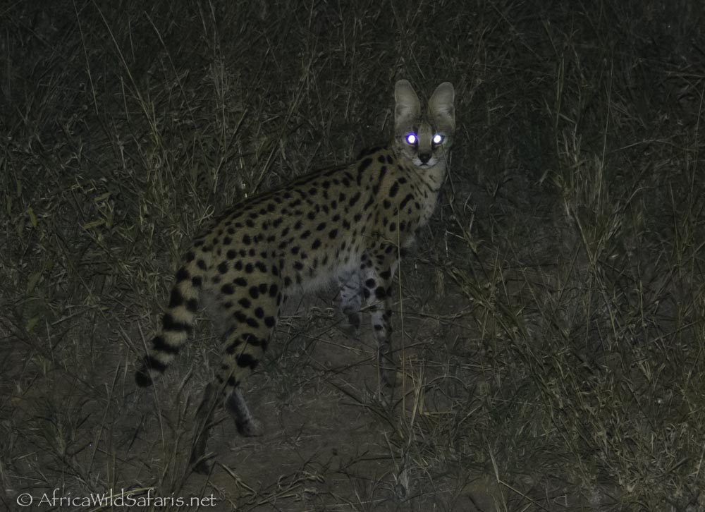 serval out hunting on night game drive