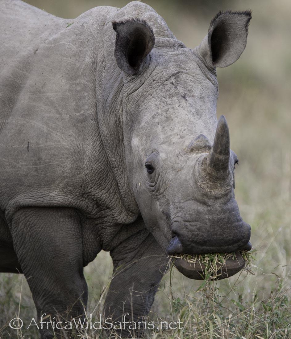 White Rhino  demonstrates grass chewing