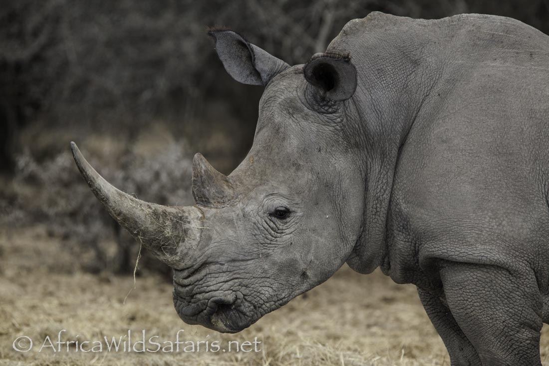 White Rhino: wide mouth and 2 horns