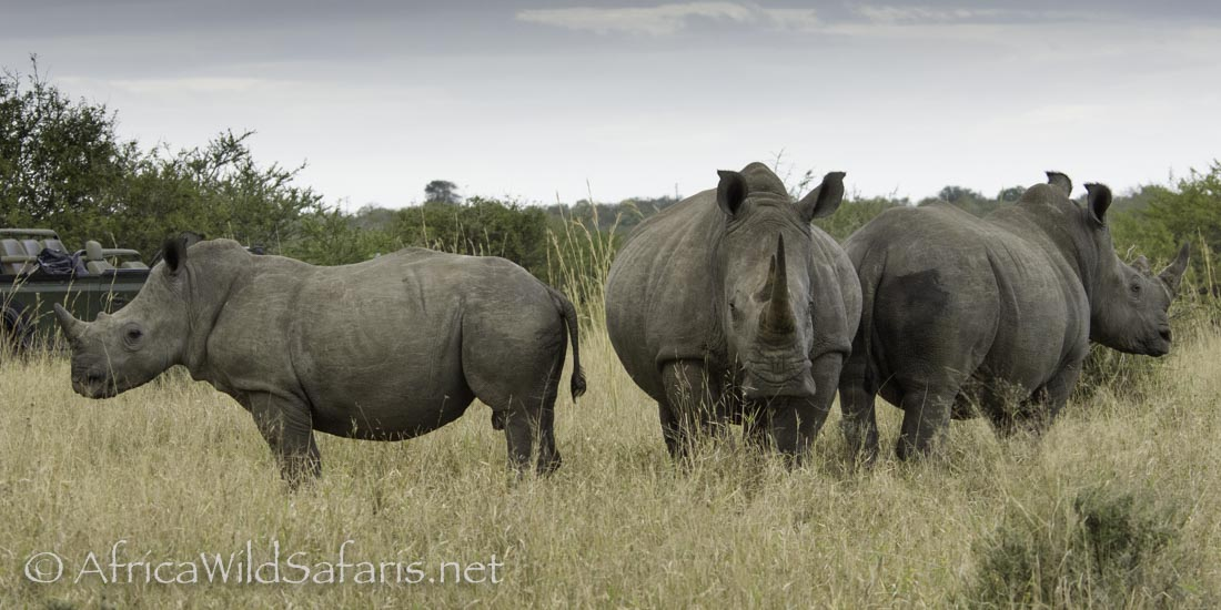 White Rhino: standing is a defense position with an ear and nose in each direction.