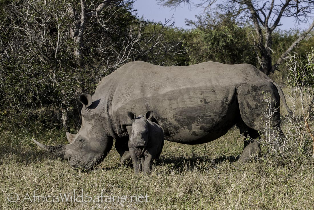 White Rhino: Mother with baby