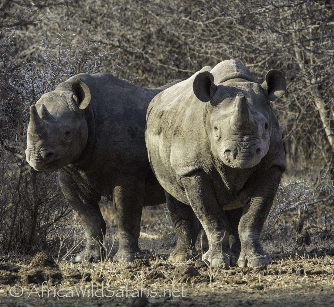 Black Rhino: two rhino cautiously check out our vehicle