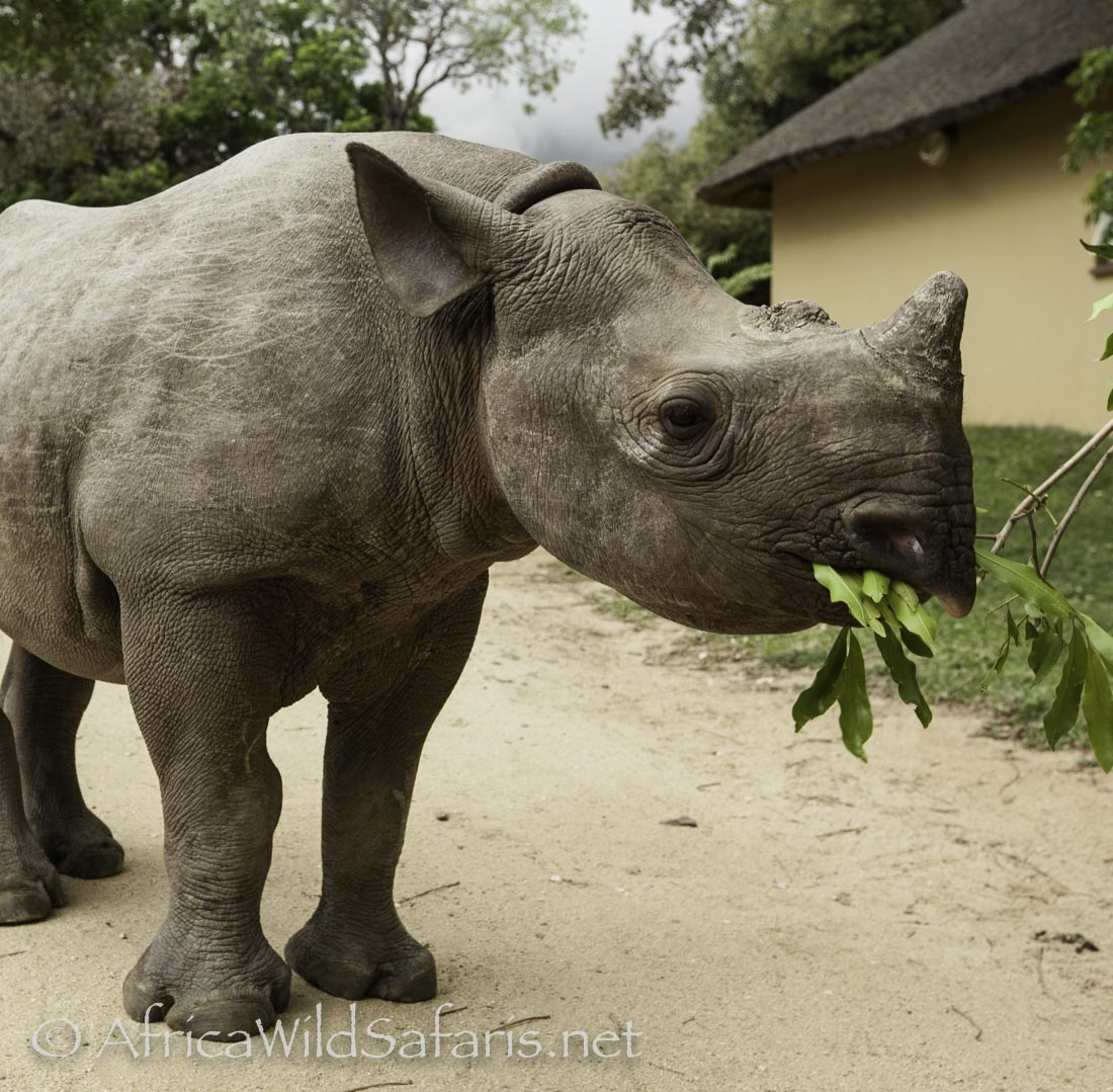 A young black rhino grasps some leaves