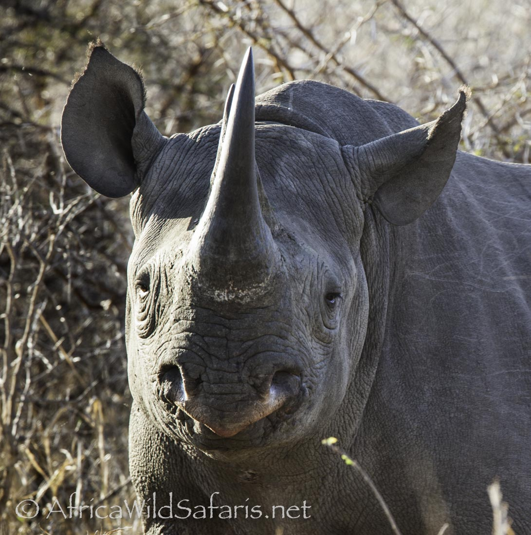 Black Rhino: the lip can grasp like the tip of an elephant trunk