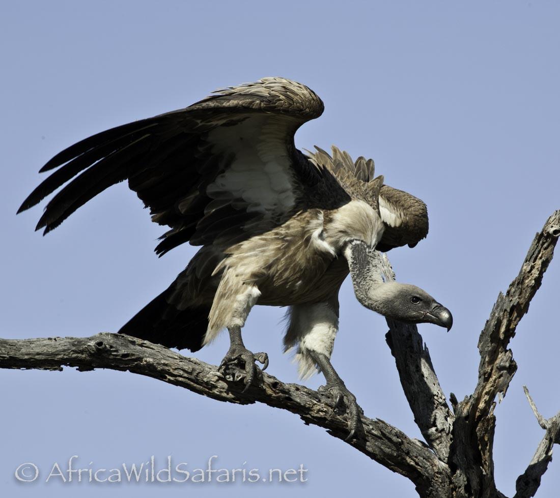 vultures-4