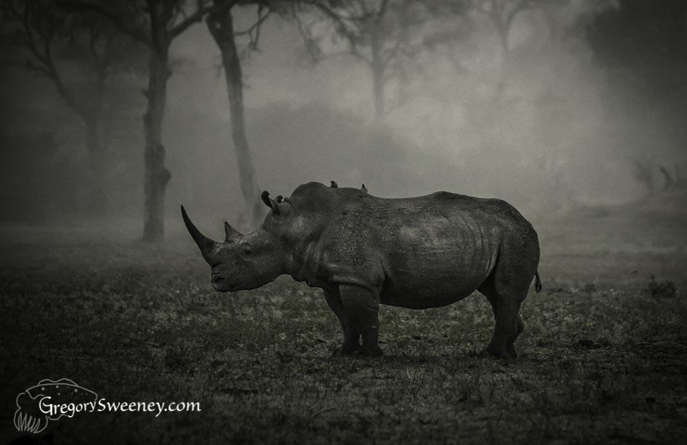 Monochrome rhino in Lightroom