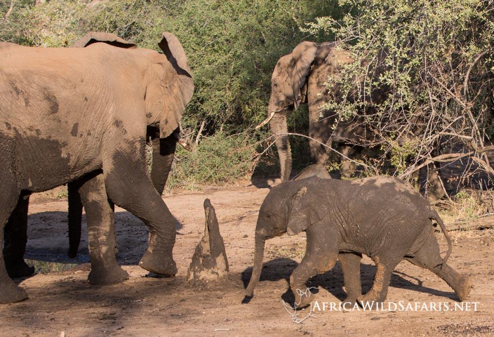 photographing baby elephants