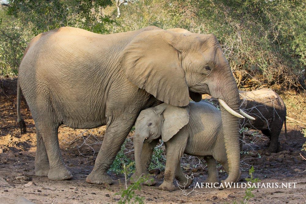 photo safari game drive elephants