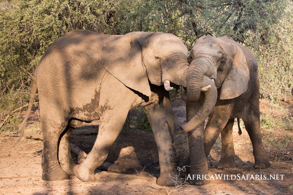 young elephants mock fighting