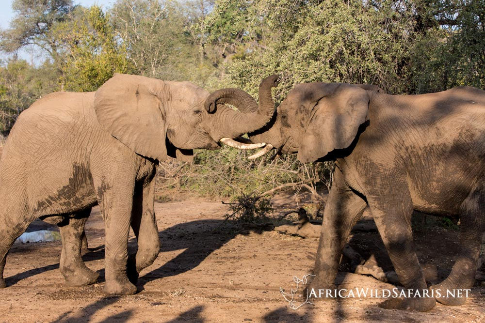Young male elephants sparing