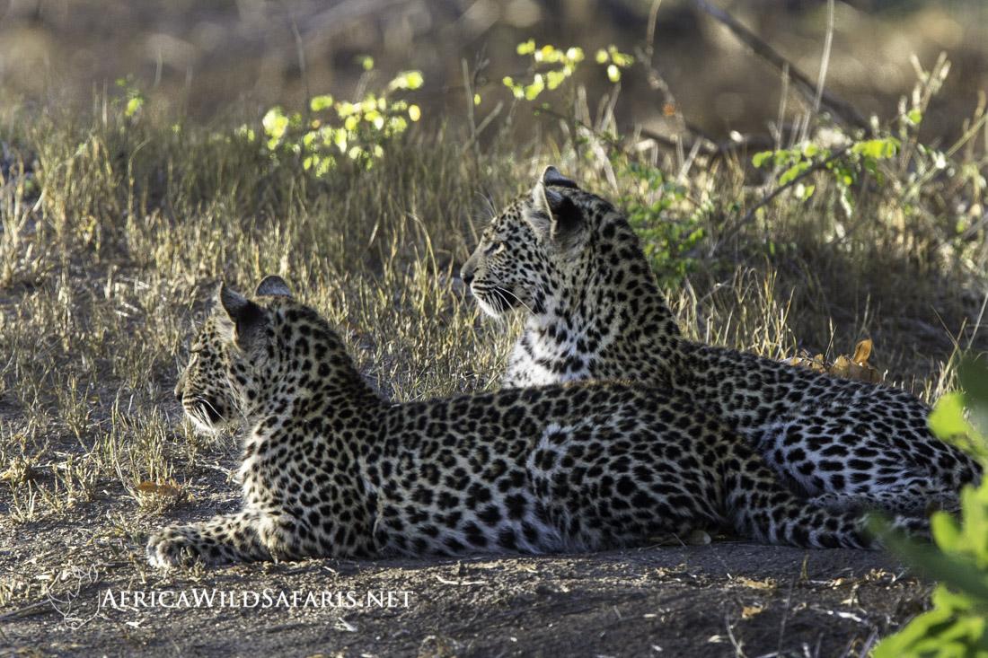 leopard siblings